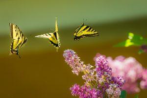Vlindermassage